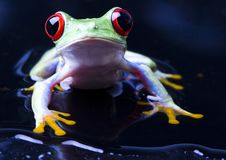 Frog Royalty Free Stock Photography