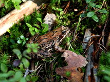 Frog. Forest Frog in the tall grass Royalty Free Stock Photos
