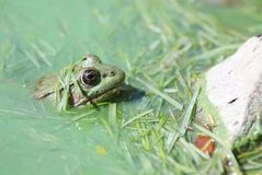Frog. In water in nature Royalty Free Stock Photo