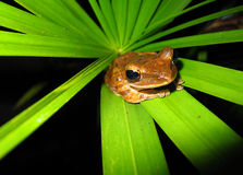 Frog. On Leaf, Khao Sok, Thailand Stock Photos