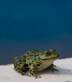 Frog. Waiting for a kiss Royalty Free Stock Photos