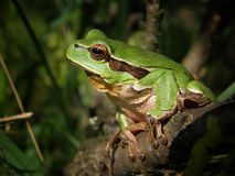 Frog. Small green frog in the bush Stock Photography