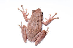 Free Frog Stock Photography - 23954132