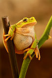 Frog. Is in a natural habitat Stock Photography