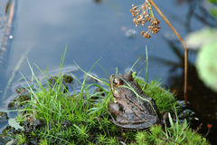 Frog. In pouddle Stock Photos