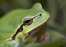 Frog. A small green frog portrait Stock Images