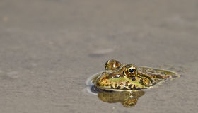 The Frog. Frog with big eyes swimming in a pond Royalty Free Stock Images
