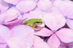 Frog. A green frog on the flower of hydrangea Royalty Free Stock Photos