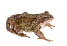 Free Frog Stock Photo - 28941530