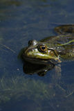 Frog 3 Royalty Free Stock Photography