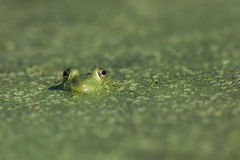 Frog. A frog peeks out from under a bed of algae stock photography