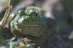 Frog. A frog sits on a log in a pond stock photo