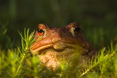 Frog. Head of the big brown frog lying in herb stock photo