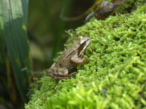 Frog. At the moos Stock Image