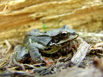 Frog. A frog in forest Royalty Free Stock Photo