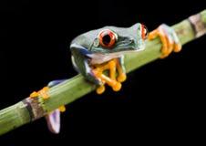Free Frog Stock Image - 3955001