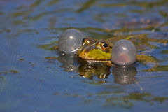 Frog 4 Royalty Free Stock Image