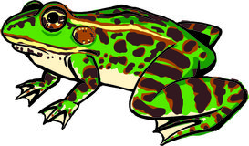 Frog. Illustration of frog Stock Image