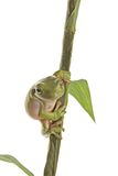 Frog. A whites tree frog climbing a branch Royalty Free Stock Photos
