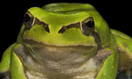Frog Stock Photos