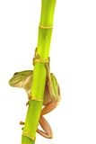 Frog. A whites tree frog climbing a branch on white background Stock Photography