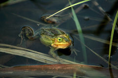 Frog. Green frog in a pond in the spring Stock Image