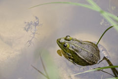 Frog. Singing in a pond Stock Photos
