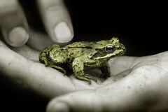 Frog. Holding a Tiny Frog stock images