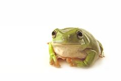 Frog. A green tree frog on white background Stock Photography