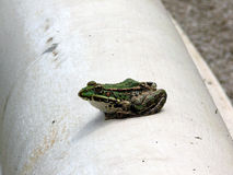 Frog. Little graceful frog resting along stones fence from fountain in the botanical garden royalty free stock image