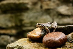 Frog. A photo of a frog staring on the stone and ready to jump Stock Photos