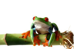 Frog. Closeup of a Red-Eyed Tree Frog perching on  bamboo and isolated on white background Stock Photo