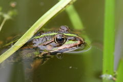 Frog. Green frog in pond, close up Royalty Free Stock Photography