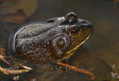 Frog. Spotted this Bullfrog just off the shore in the water of a local park Royalty Free Stock Photos