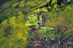 Frog. Shot of a frog in a pond Stock Image