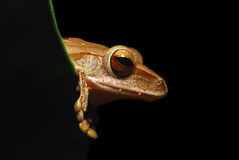 Frog. Small animal with smooth skin and long legs that are used for jumping. s live in or near water. / The Agalychnis callidryas Royalty Free Stock Photos