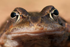 Frog. Closeup of a frog royalty free stock photo