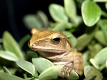 Frog 8 Stock Image