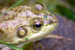 Frog. A close up Frog in water Stock Image