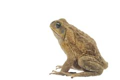 Frog Stock Photography