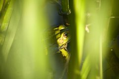 Frog. Hidden between green grass Royalty Free Stock Photos