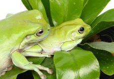 Frog. Isoleted two frogs on green leaf royalty free stock images