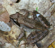 Frog. A frog found sitting on the forest floor on leaves royalty free stock photo