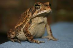 Frog Royalty Free Stock Photos