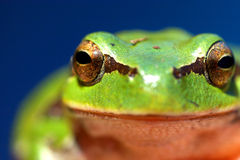 Frog. Green frog eyes royalty free stock photos