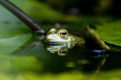Frog. Swimming stock photography