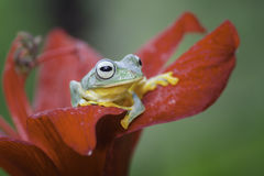 Frog activities. A Frog take a peek from leaf stock photography