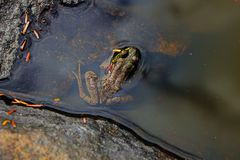 Frog in an Adirondack Pond Centered in Frame. Frog half submerged in puddle on top of stone outcrop taken in Adirondack Mountains stock photo