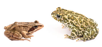 Frog against toad isolated on white background royalty free stock photography