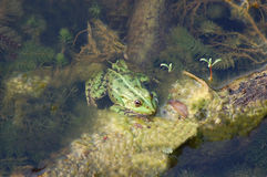 Frog in the algae Stock Photos